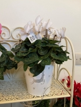 Cyclamen In Tin